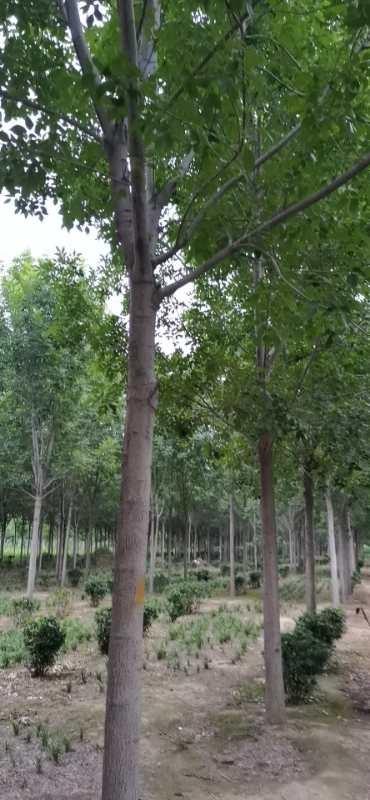 青海绿化苗木基地_绿化苗木种子相关-长垣县华夏园林绿化有限公司