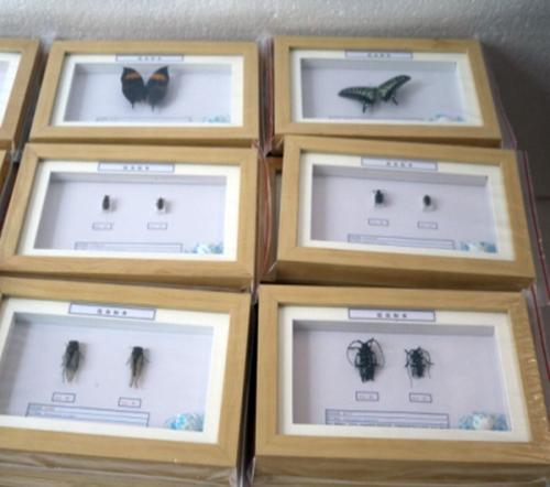 宁夏蝴蝶标本生产厂家_标本模型-新乡禾力教学设备有限公司