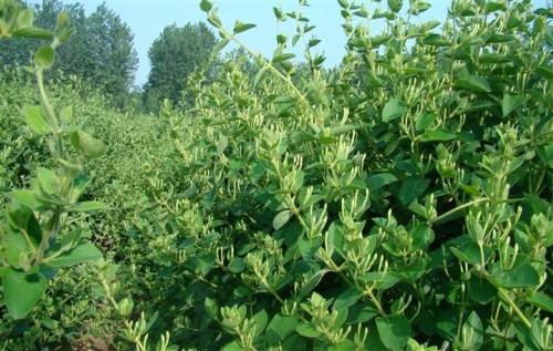 金银花种苗基地_金银花种子相关-封丘县西于金银花种植专业合作社