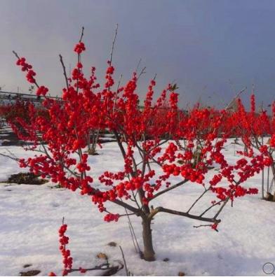 四季紅楓小苗 小區綠化苗木相關